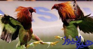 شرط بندی حیوانات و خروس جنگی